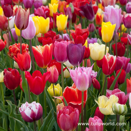 Breeders Selection Tulips