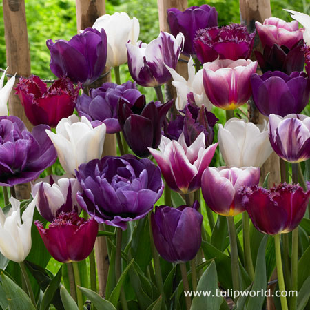 Purple Blend Tulip Mixture