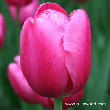 Don Quichotte Tulip Value Bag 25 bulbs