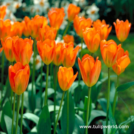 Orange Brilliant Tulip Value Bag