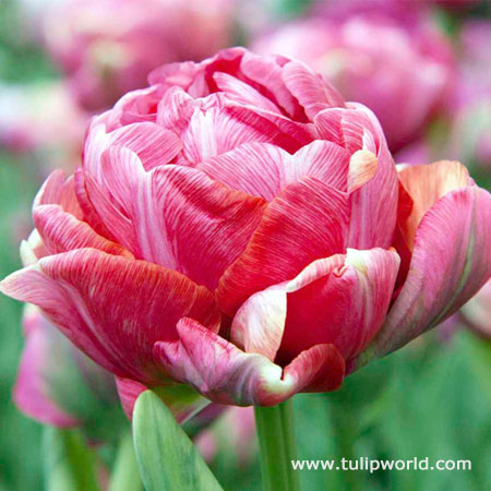 Wedding Gift Double Tulip