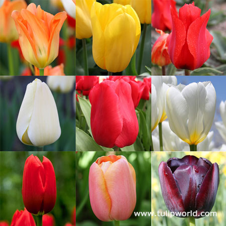 Perennial Tulip Collection