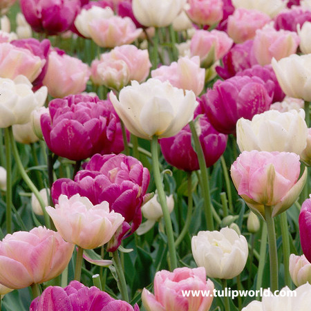 Double Dutch Double Tulip Mix