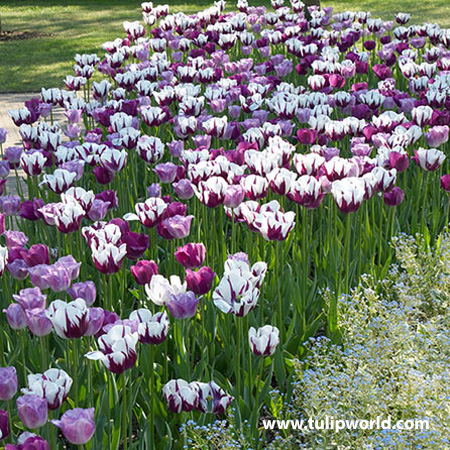 Violet Delight Tulip Mix