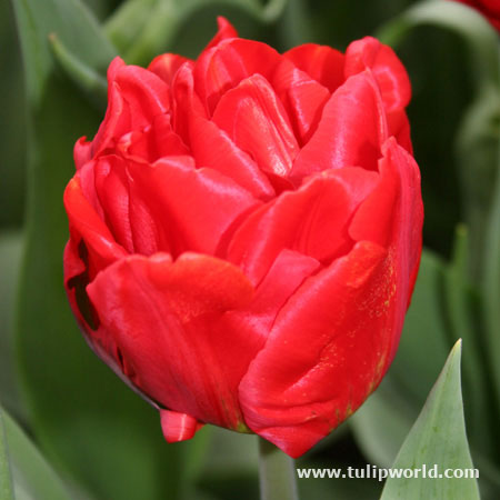Miranda Double Late Tulip