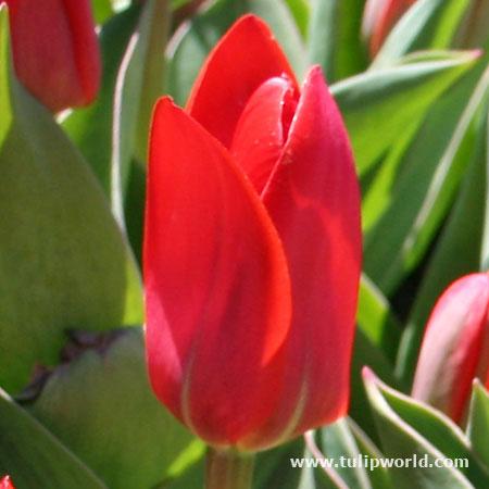 Showwinner Kaufmanniana Tulip