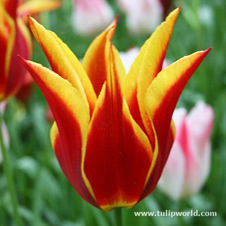 Aladdin Lily Tulip