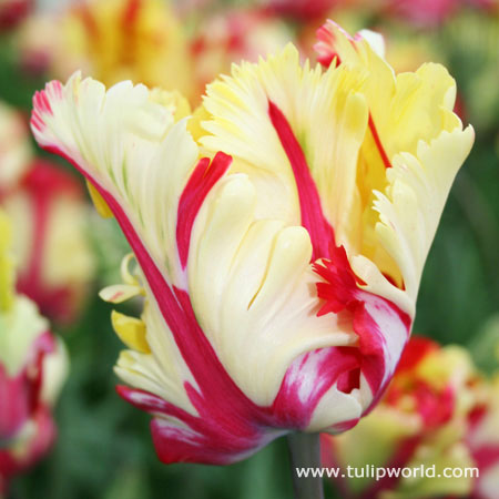 Texas Flame Parrot Tulip - 38154