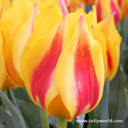 Flair Single Tulip