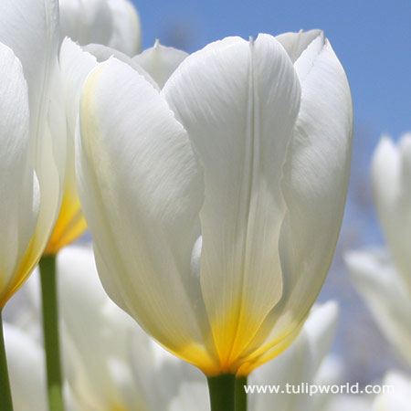 Purissima Tulip   ( Fosteriana)