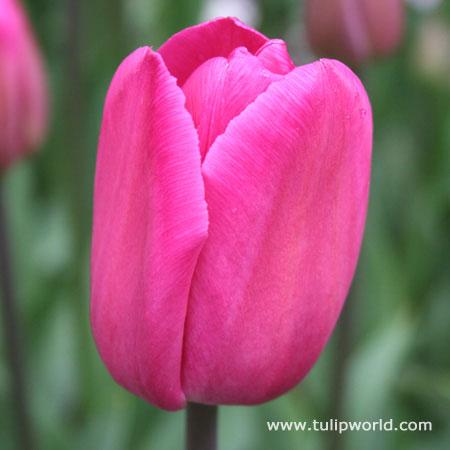 Barcelona Triumph Tulip
