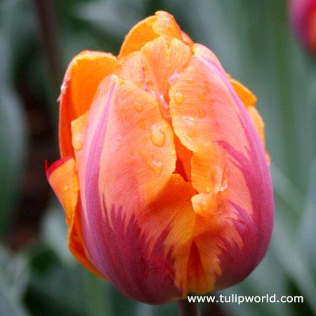 Princess Irene Triumph Tulip - 38220