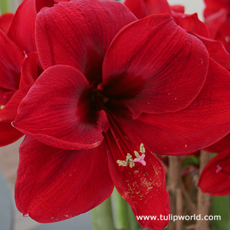 Tulip world royal velvet amaryllis 42126 for Amaryllis royal