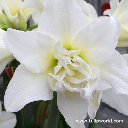 Ice Queen Amaryllis - 42128