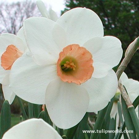 Bell Song Daffodil Narcissus