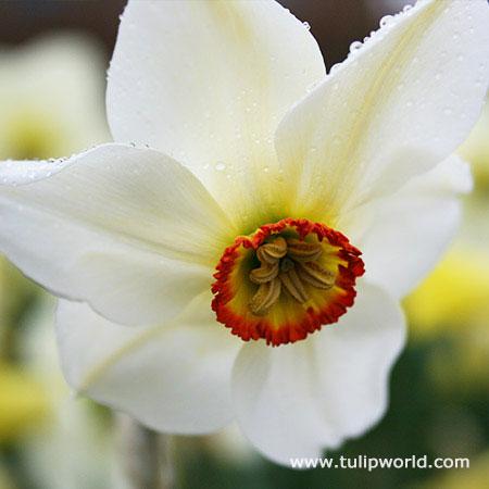 Actaea Recurvus Narcissus