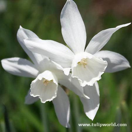 Thalia Daffodil Narcissus