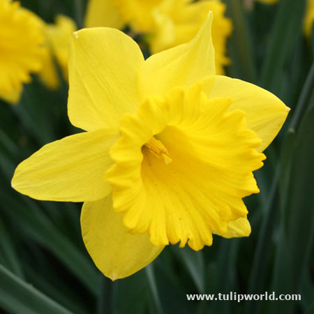 Dutch Master Yellow Daffodil -25 bulbs