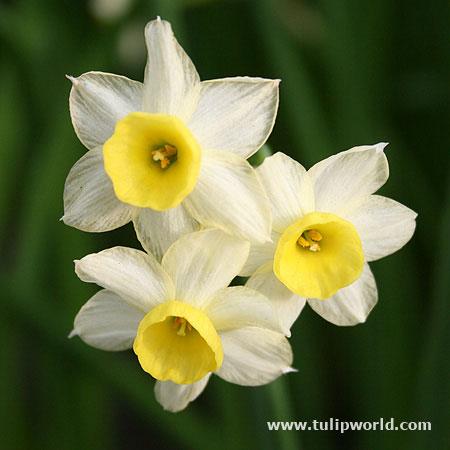 Minnow Daffodil Narcissus