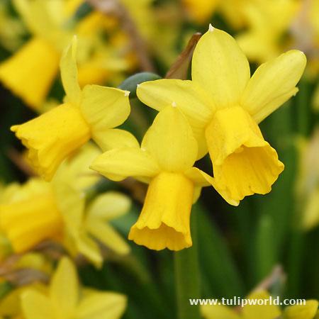 Tete A Tete Daffodil Narcissus