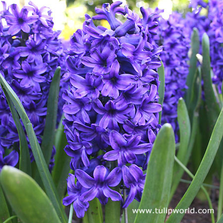 Blue Jacket Hyacinth - 34103