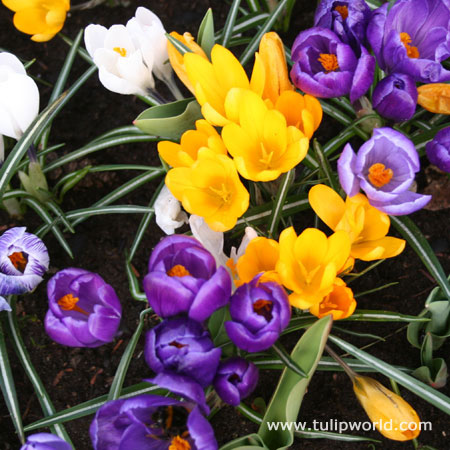 Mixed Giant Crocus