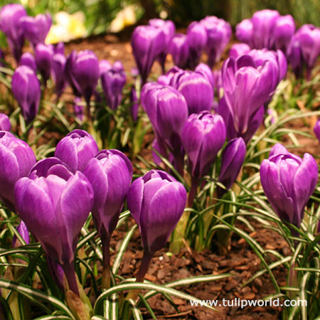 Ruby Giant Specie Crocus - 33109