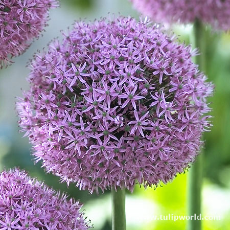 Gladiator Allium - 31102