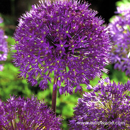 Purple Sensation Allium - 31104