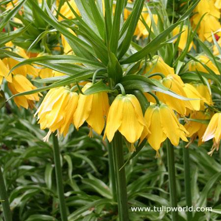 Yellow Fritillaria - Lutea