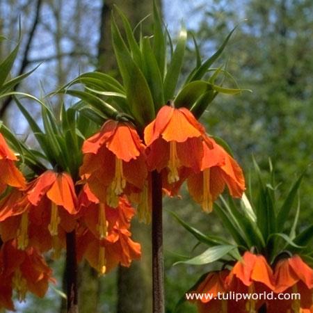 Red Fritillaria - Rubra Maxima - 37117