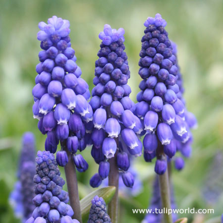 Blue Grape Hyacinth - Armeniacum Muscari