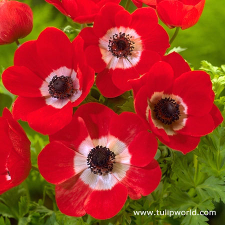Hollandia Poppy Flowering Anemone