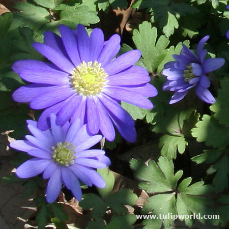 Blue Shades Anemone - 28138