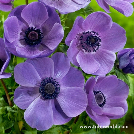 Mr. Fokker Anemone - 33135