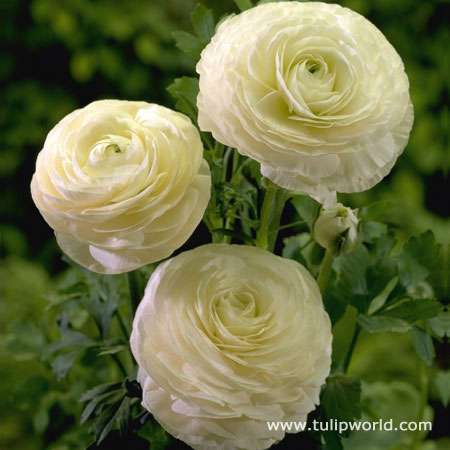 Tulip world white ranunculus 37123 white ranunculus 37123 white ranunculus 37123 mightylinksfo