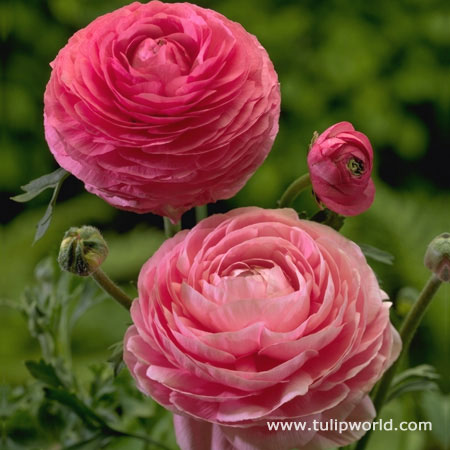 Pink Ranunculus - 37127