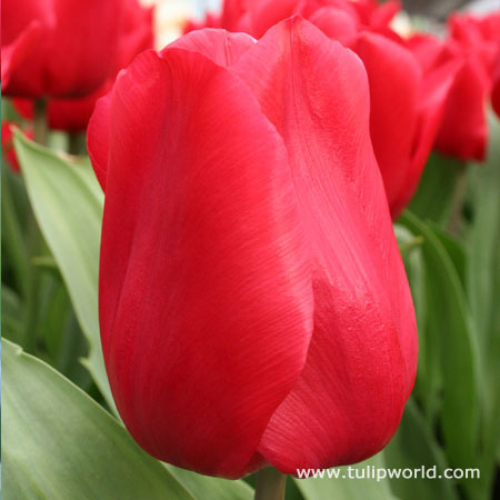 Red Impression Tulip Value Pack