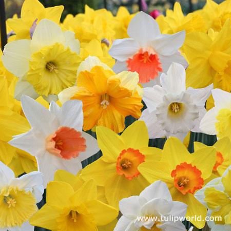 Mixed Naturalizing Daffodils -25  bulbs