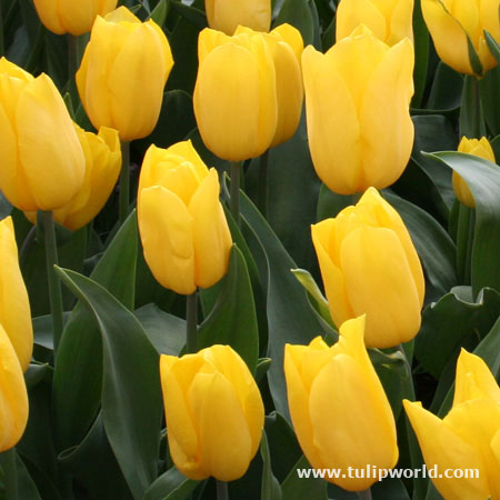 Golden Apeldoorn Yellow Tulips 25 bulbs