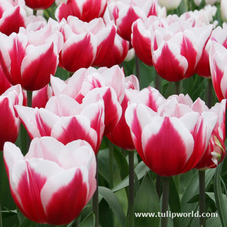 Kelly Triumph Tulip 25 bulbs