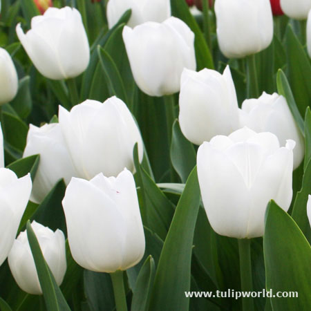 Pays Bas Triumph Tulip Value Pack