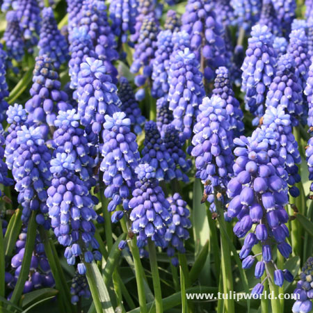 Grape Hyacinth Landscape Pack
