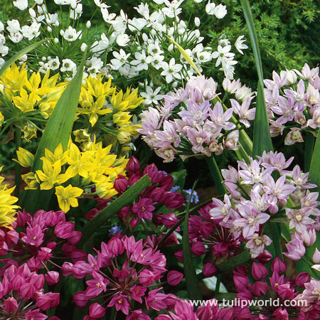 Mixed Small Allium