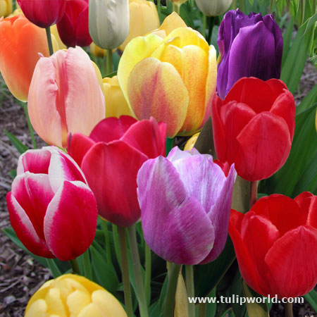 Mixed Triumph Tulips - 50 bulbs