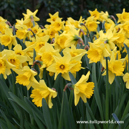 Dutch Master Daffodil - 50 bulbs