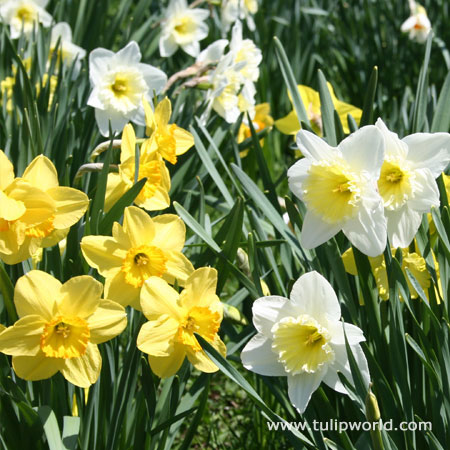Mixed Naturalizing Daffodils Jumbo Bag
