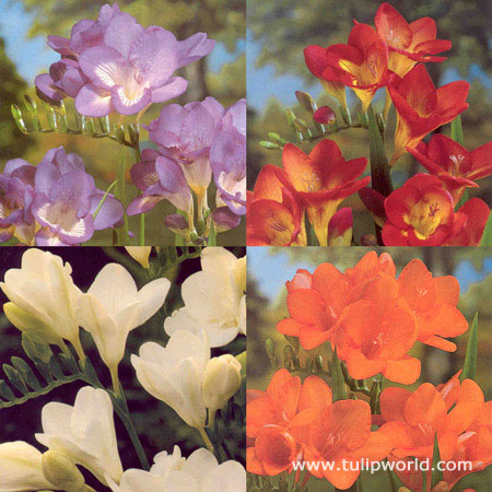 Freesia Collection