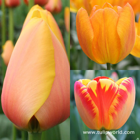 Glowing Darwin Hybrid Tulip Collection