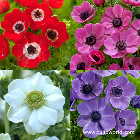 Mixed Anemone Collection